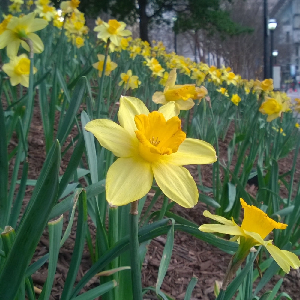 Daffodils Downtown.