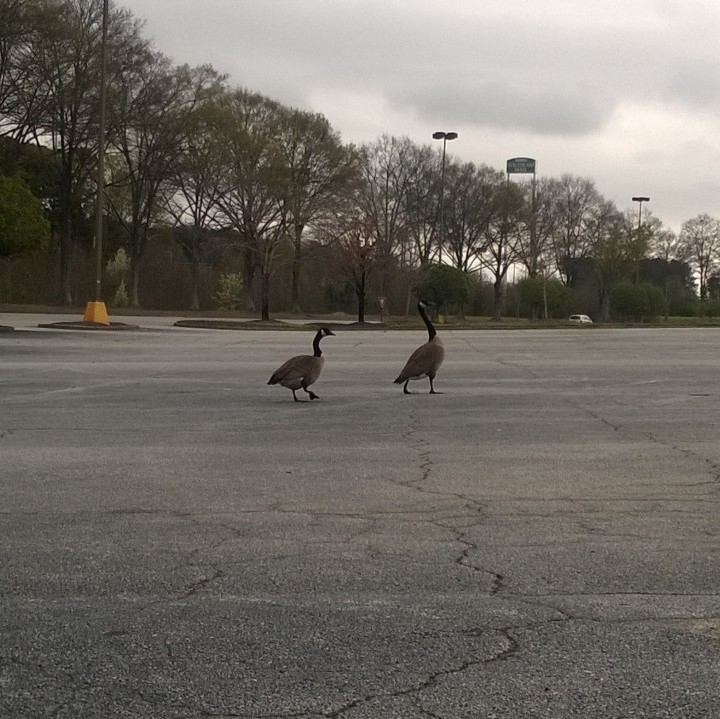 The only other pedestrians were a couple of geese.