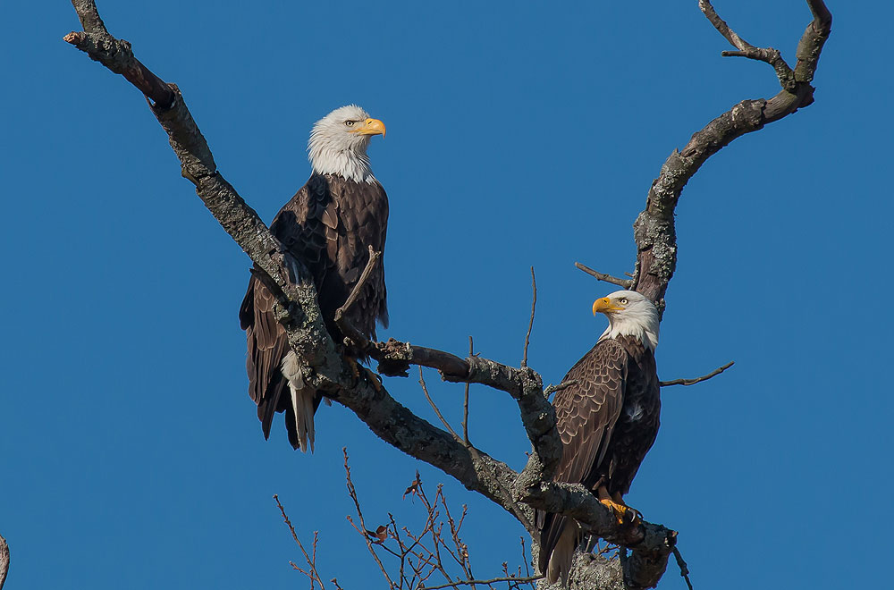 Two of the Bald Eagles nesting at Berry College.